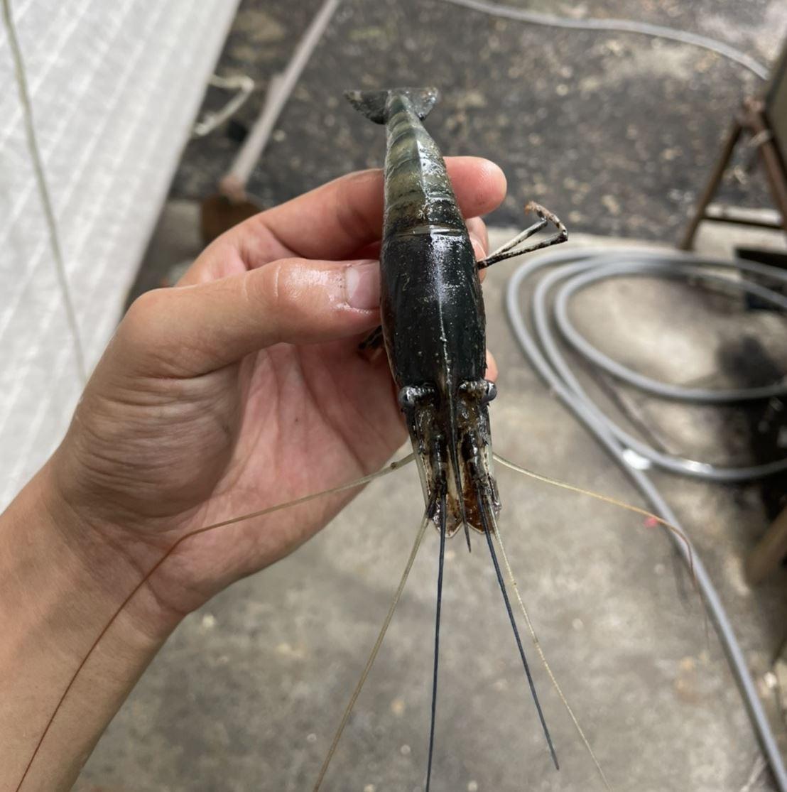 家中蝦池出現蝦頭內部上半邊呈現黑色,水質檢測中,酸鹼度、亞硝酸、氨數值皆為正常,不知道是不是微生物或病菌侵入蝦頭中?這種情況怎麼解決?