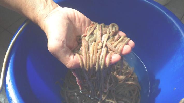 養殖4個月,均重達2.3g的雙齒圍沙蠶,每平方米年產量可達5kg以上