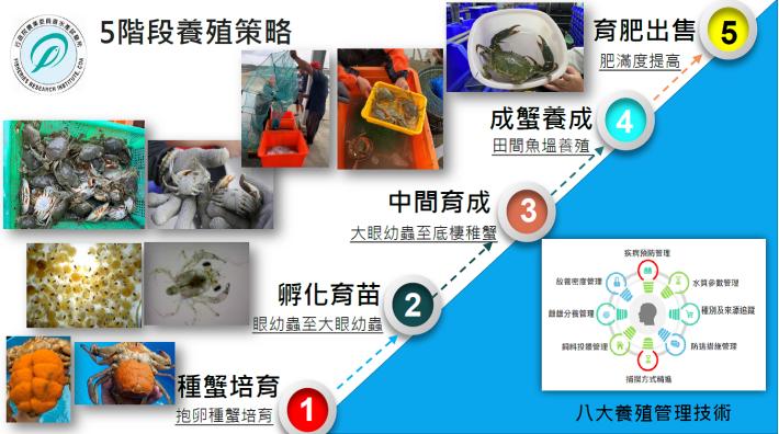 鋸緣青蟹商業生產技術流程