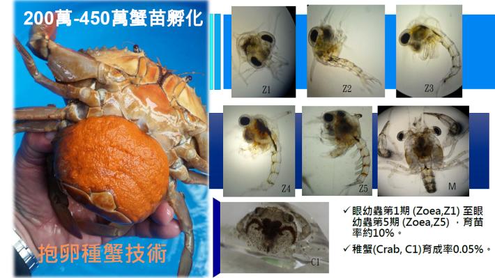 浮游期蟹苗發育歷程