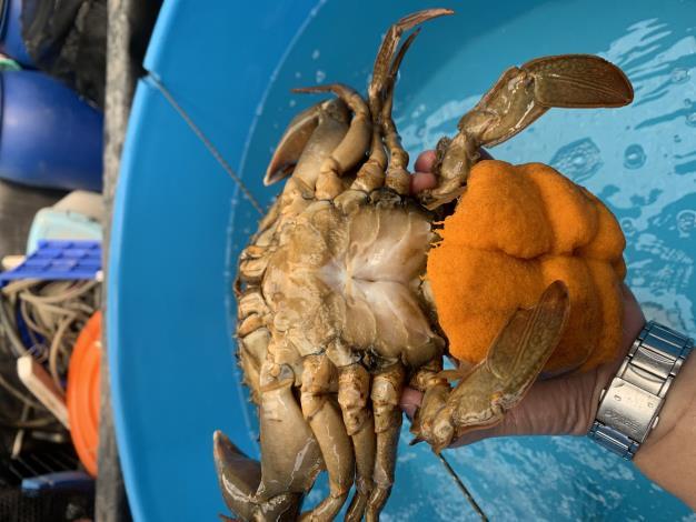 種蟹抱卵技術3.JPG
