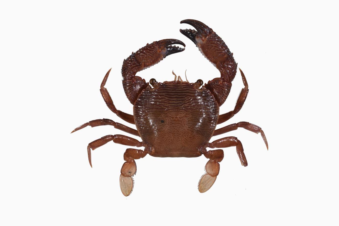 阿戛光背蟹