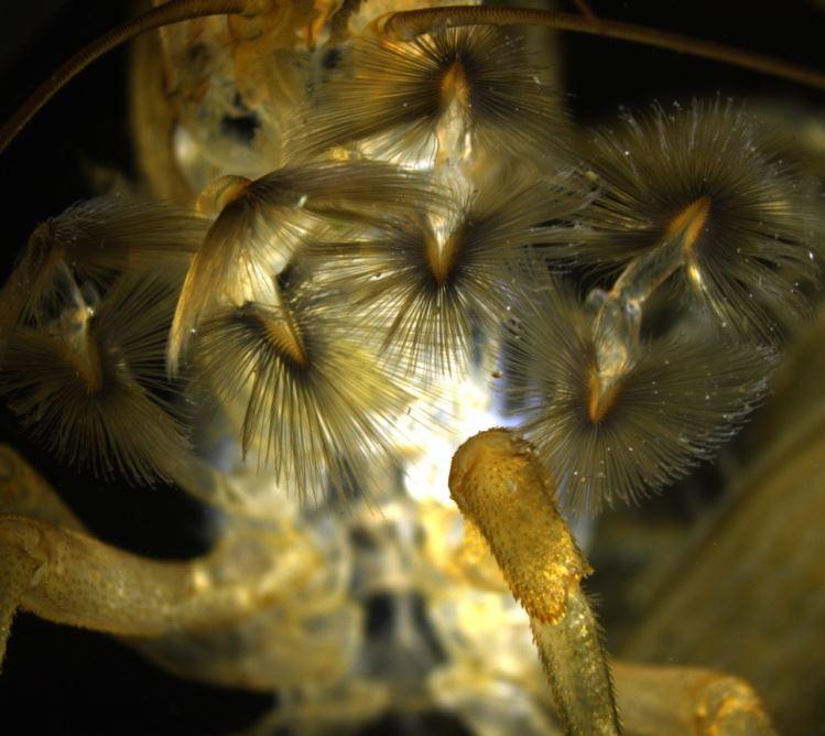 網球蝦第一及第二第一及第二對鉗狀附肢演化成流蘇狀的結構