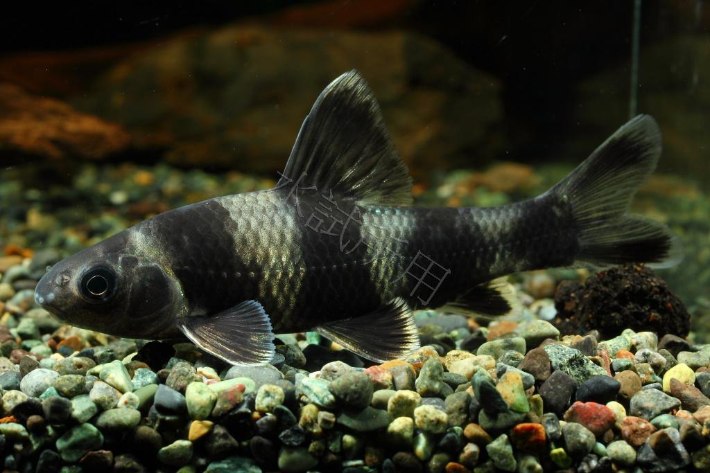 斑節鰉魚(中國胭脂鯉)Sarcocheilichthys sinensis