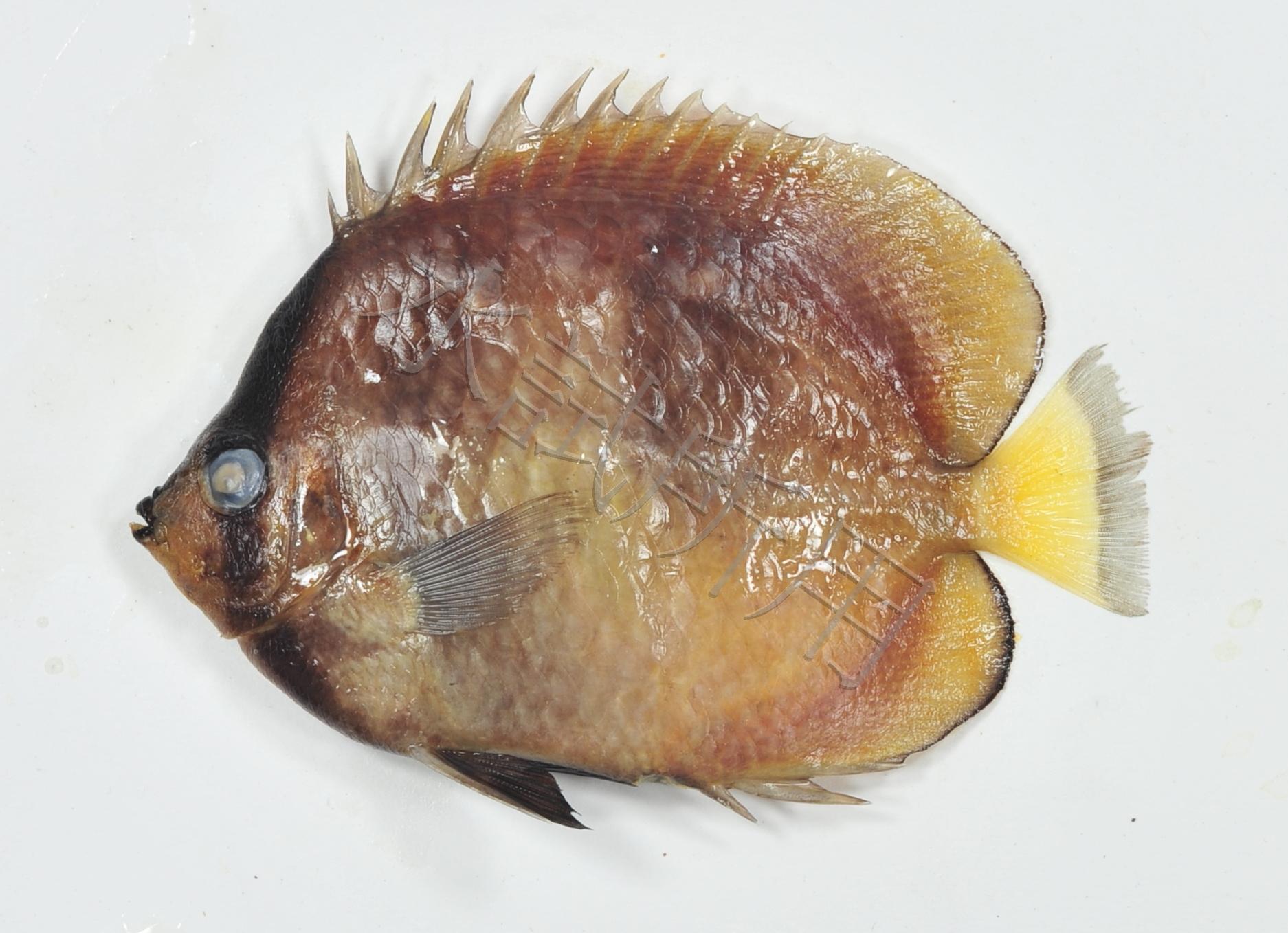 克氏蝴蝶魚