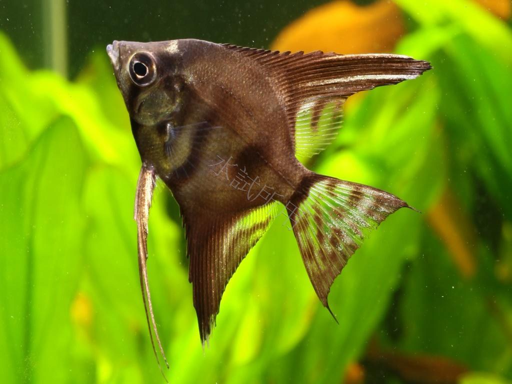 黑蝙蝠神仙魚