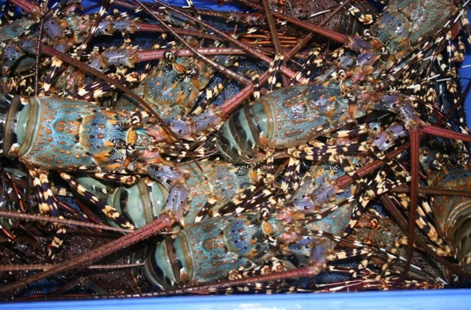 蝦中之王-龍蝦的養殖