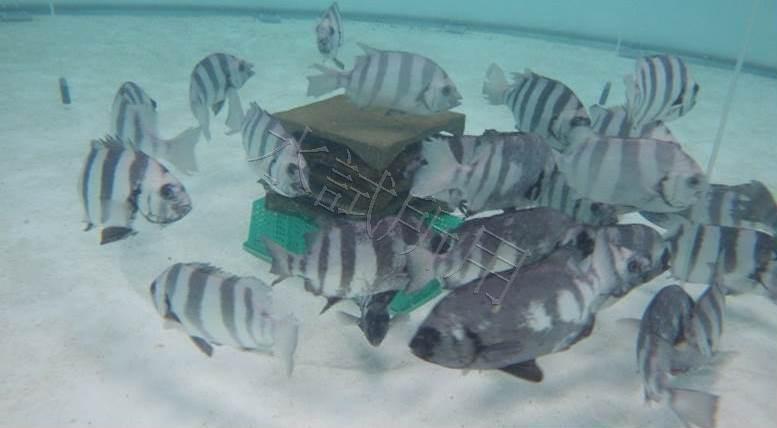 利用深層海水成功繁殖條石鯛