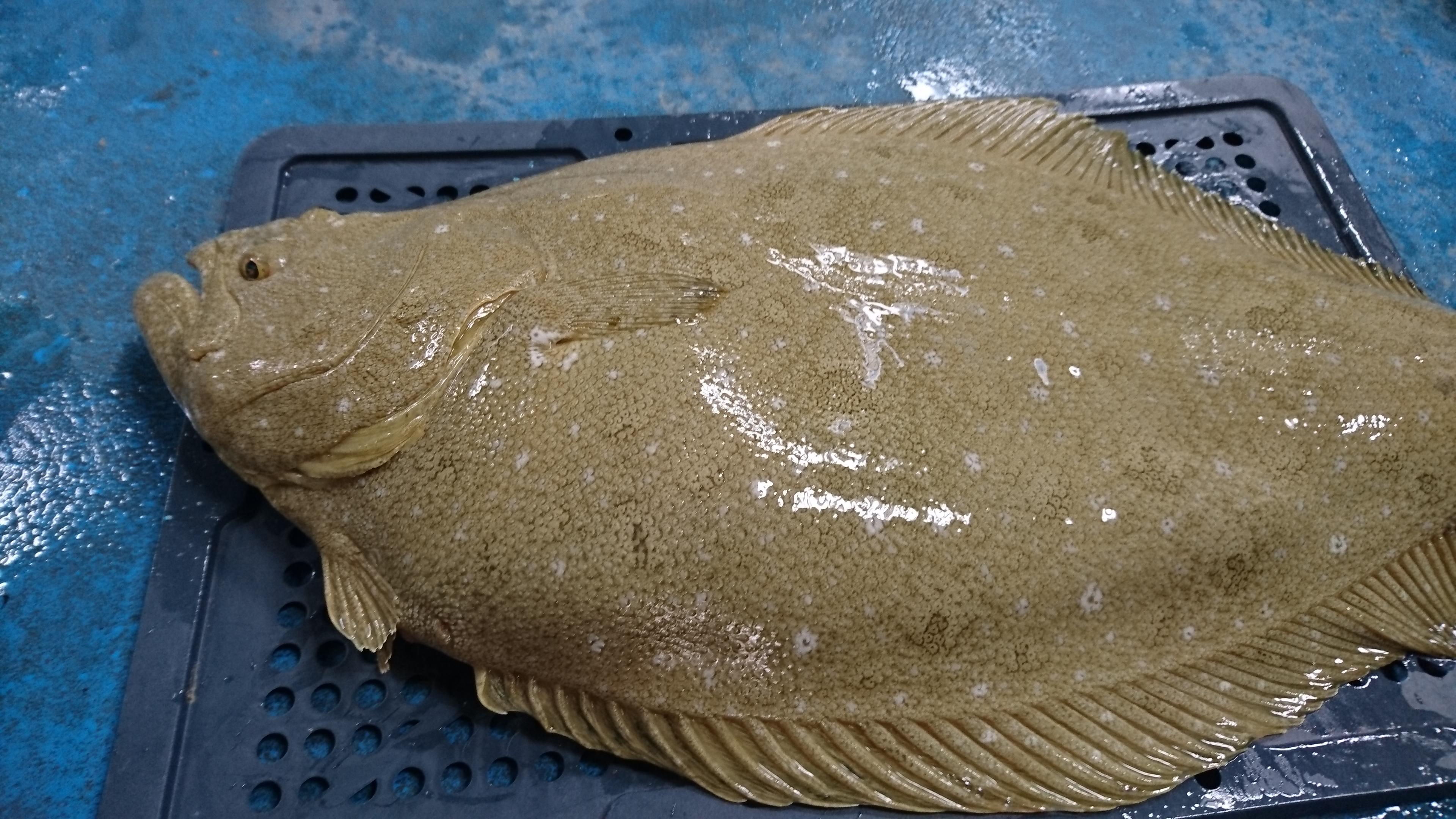 解密生殖技術 水試所成功繁殖高經濟溫水性魚類牙鮃