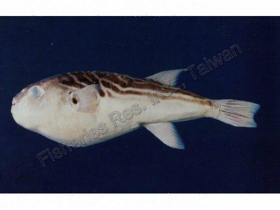 黃鰭多紀魨