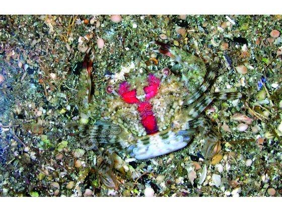雌性抱卵的斑點短槳蟹