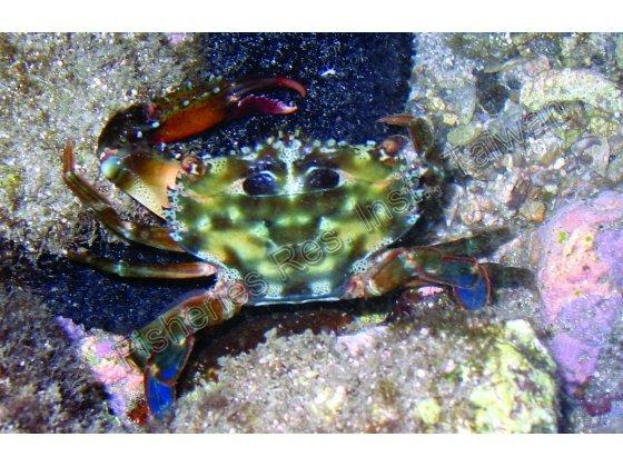底棲短槳蟹是潮間帶常見的蟹類之一